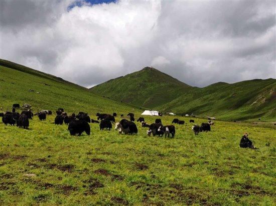直播牧场牦牛吃饭睡觉打豆豆青海高原肉2天到全国
